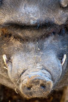 Vietnamese Pig. Stock Photos