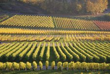 Colorful Vineyard In Autumn Stock Photos
