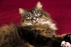 Free Cat Royalty Free Stock Photography - 8624327