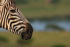 Free Zebra Royalty Free Stock Photo - 8624985