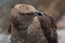 Free Goshawk Stock Photo - 8625820