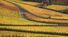 Free Colorful Autumn Vineyard Stock Photo - 8625880