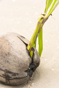 Free Coconut On A Beach Stock Image - 8626521