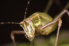 Free Katydid Close-up Royalty Free Stock Photos - 8628528