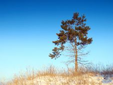 Lonely Pine Stock Images