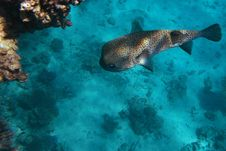 Free Spot-fin Porcupinefish Royalty Free Stock Image - 8628846
