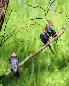 Free Molothrus Ater &x28;Brown-headed Cowbird&x29; - Males Royalty Free Stock Images - 86216949