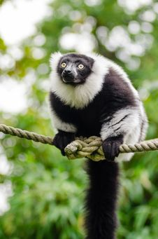 Free Black And White Ruffed Lemur Royalty Free Stock Photography - 86217677