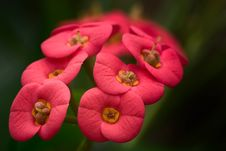 Free Euphorbia Milii Flower Stock Photos - 86218953