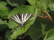 Free Koningspage -- Scarce Swallowtail -- Iphiclides Podalirius Royalty Free Stock Images - 86219169