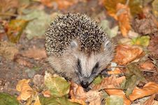 Free Brown Hedgehog On Brown And Green Leaves Royalty Free Stock Photography - 86227047