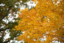 Free Fall Leaves On Tree Royalty Free Stock Photos - 86228678