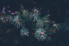 Free Pine Branches Stock Images - 86228714