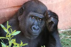 Free Black Gorilla With Hand To Face On Orange Wall Royalty Free Stock Images - 86229429