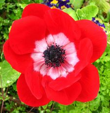 Free Red And White Anemone 2 Stock Image - 86244181
