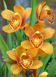 Free Orange Orchids With Speckled Beards Royalty Free Stock Image - 86244296