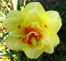 Free Yellow Double Daffodil With Red Stock Images - 86244374