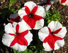 Free Red-and-white Pinwheel Petunias Stock Photography - 86244512