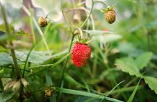 Free PUBLIC DOMAIN DEDICATION -  Digionbew 9. June - 17-06-16 Wild Strawberry - LOW RES DSC00552 Royalty Free Stock Photography - 86244817
