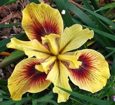 Free Yellow-and-red Dwarf Iris Royalty Free Stock Photography - 86244857