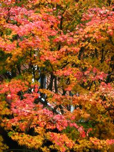 Free Autumn Maple Tree 2 Royalty Free Stock Photography - 86244987