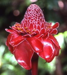 Free Torch Ginger Royalty Free Stock Photos - 86245048
