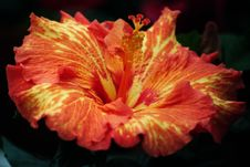Free Red-and-yellow Hibiscus Stock Image - 86245251