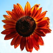 Free Red Sunflower Stock Images - 86245434