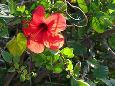 Free Hibiscus -- Rose Mallow -- Hibiscus Stock Photography - 86245612