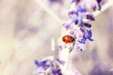 Free Red Lady Bug On White And Blue Flower Royalty Free Stock Images - 86249219