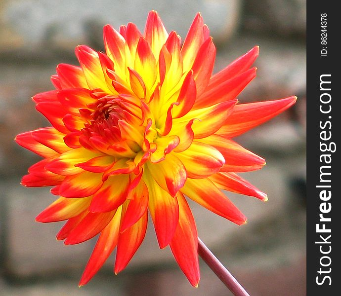 red and yellow cactus dahlia