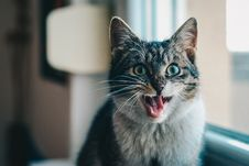 Free Close-up Portrait Of Cat Yawning Stock Photos - 86250633