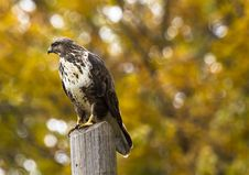 Free Close-up Of Eagle Perching On Outdoors Royalty Free Stock Images - 86250829
