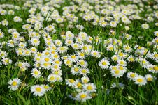 Free Field Of White And Yellow Daisies Royalty Free Stock Photography - 86253587