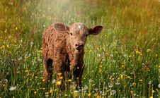 Free Calf Standing In Wildflowers Stock Image - 86254101