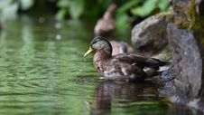 Free Duck At The Side Of Lake Royalty Free Stock Images - 86254619