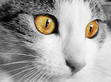 Free White And Gray Cat With Yellow Eyes In Selective Color Photography Stock Image - 86255031