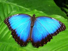 Free Blue And Black Butterfly Royalty Free Stock Images - 86256819