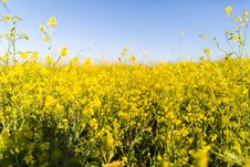 Free Yellow Field Under Blue Sky Stock Image - 86257201