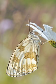 Free White And Brown Butterfly On White Flower Stock Photography - 86257512