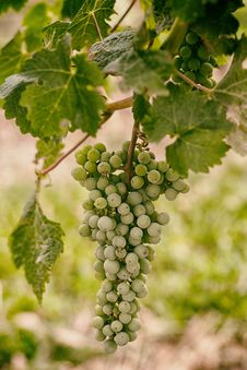 Free Green Grapes On Vine Royalty Free Stock Photography - 86258107