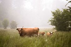 Free Brown Cows On Green Grass During Daytime Royalty Free Stock Photos - 86281018