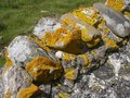 Free Yellow Lichen On Wall Stock Photography - 8632102