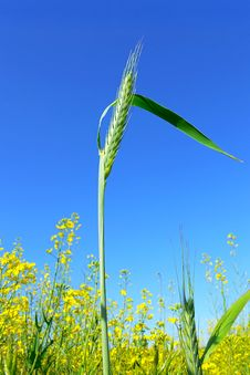 Free Green Ear In A Field Royalty Free Stock Photos - 8630668