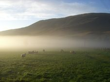 Morning Mist Hills And Sheep Royalty Free Stock Image