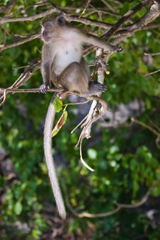 Free Monkey Royalty Free Stock Image - 8632276