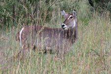 Free Waterbuck Stock Images - 8632544