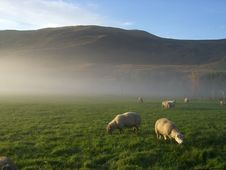 Morning Mist Hills And Sheep 2 Royalty Free Stock Photography
