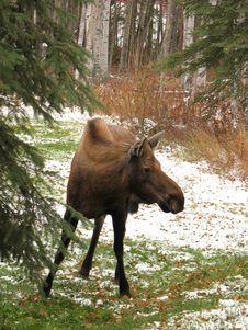 Free Cow Moose On Grass In Fairbanks, Alaska Stock Image - 8632851