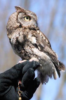 Screech Owl Up Close Stock Photos